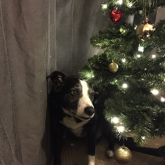 Someone is not impressed that the Christmas tree has gone up in his window. Poor Freddy....